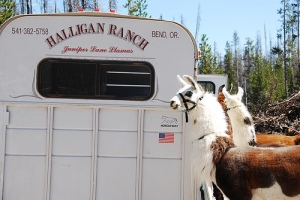 Halligan Ranch llamas!
